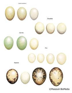 oeufs oiseau sauvage, wild bird eggs