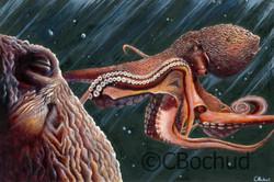 Poulpe du St-Laurent, Octopus