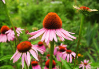 Ease Cold Symptoms with Echinacea