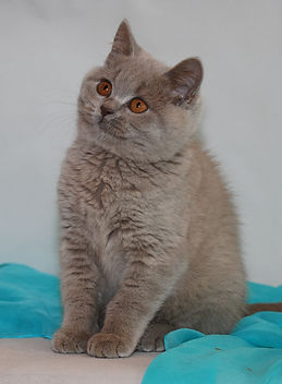 BSH British Shorthairs, Cats and Kittens breeder in England