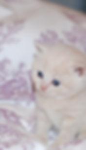 BSH Cat Breeder Kent