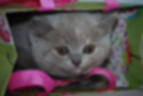 BSH Cats and Kittens for sale in London, Erith and UK