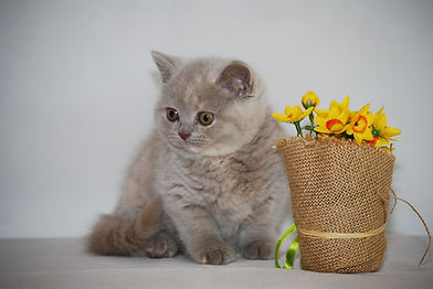 pictures of British Shorthair Kittens and Cats