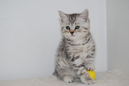 pictures of BSH, british Shorthair cats and kittens