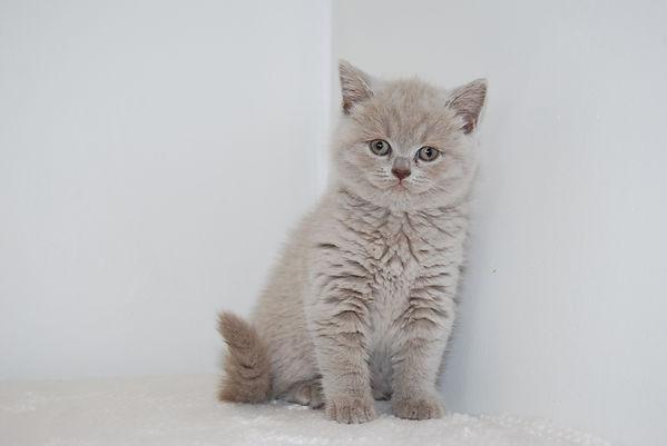 british shorthair kittens for sale in London breeders