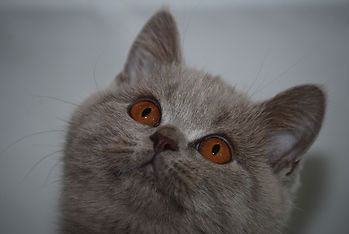 British Shorthair Cats, Kittens, For Sale