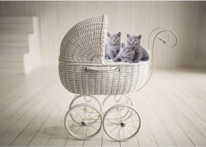 british shorthair breeder, british shorthair kitten