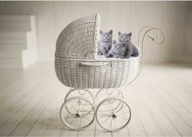 british shorthair breeder, british shorthair kitten