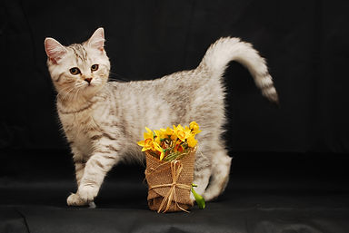 photos and pictures of british shorthair cats and kittens