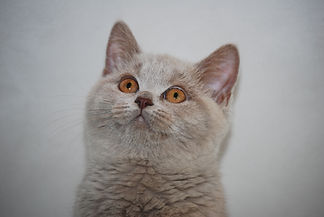 british shorthair kittens and cat pictures