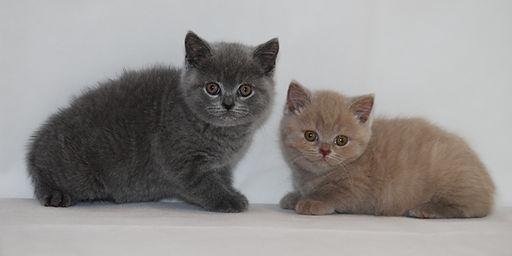 british short hair cats and kittens
