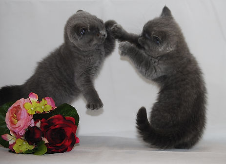 blue british shorthair catsand kittens in London
