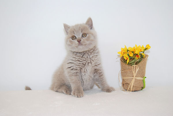 BSH British Shorthair Cats and Kittens pictures