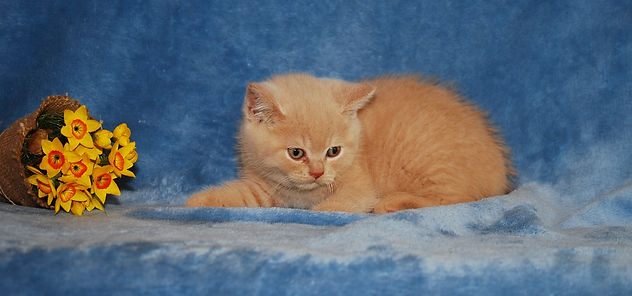 pets4homes, kitten list, BSH british shorthair cats and kittens