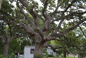 McDade Ancient Oak.jpg