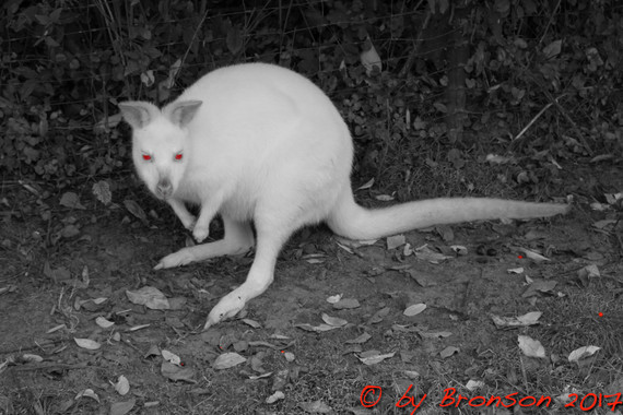 Wallaby From Hell