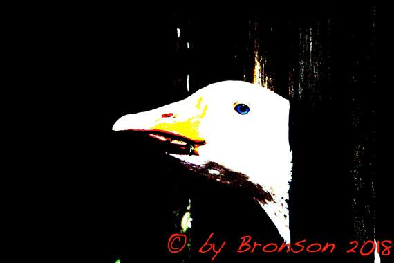 Curious Goose 'Sc1'