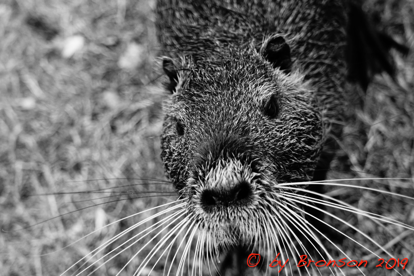 Nutria Close Up