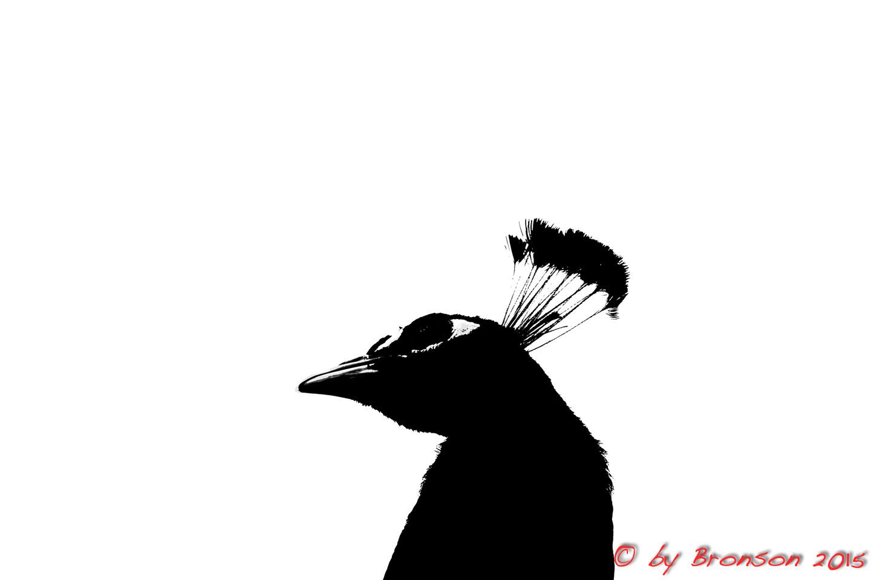 Peacock Black