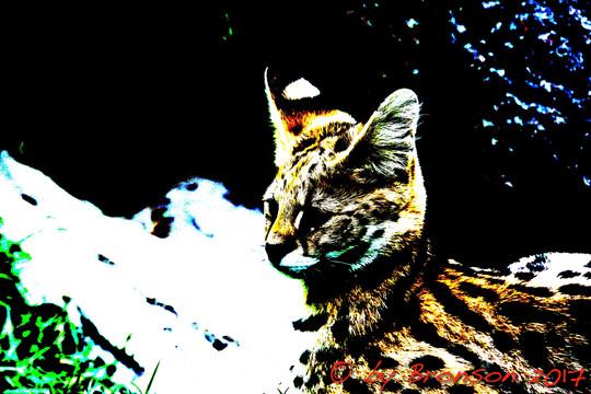 Resting Serval 'C'