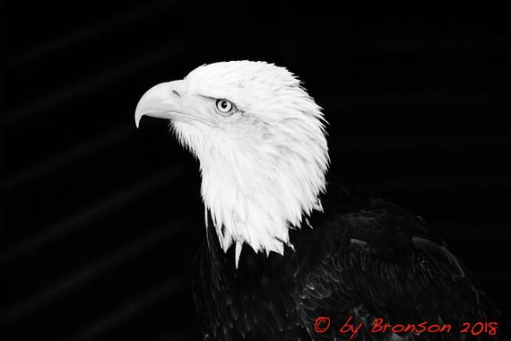 Eagle Head 'Sc1'