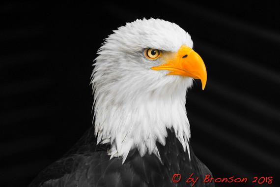 Eagle Head 'Sc2'