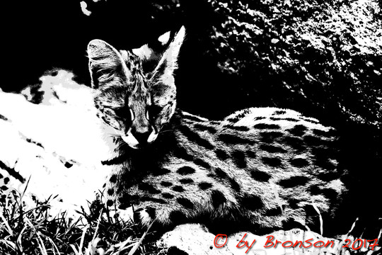 Resting Serval 'BW'