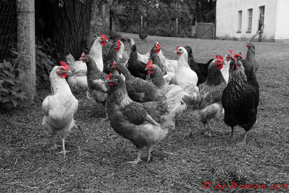Bunch Of Chickens