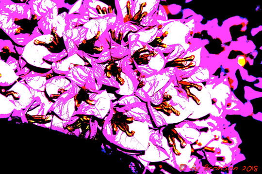 Pink Blossoms 'Sc2'