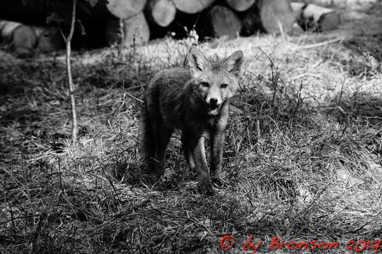 Fantastic Mr. Fox Jr.