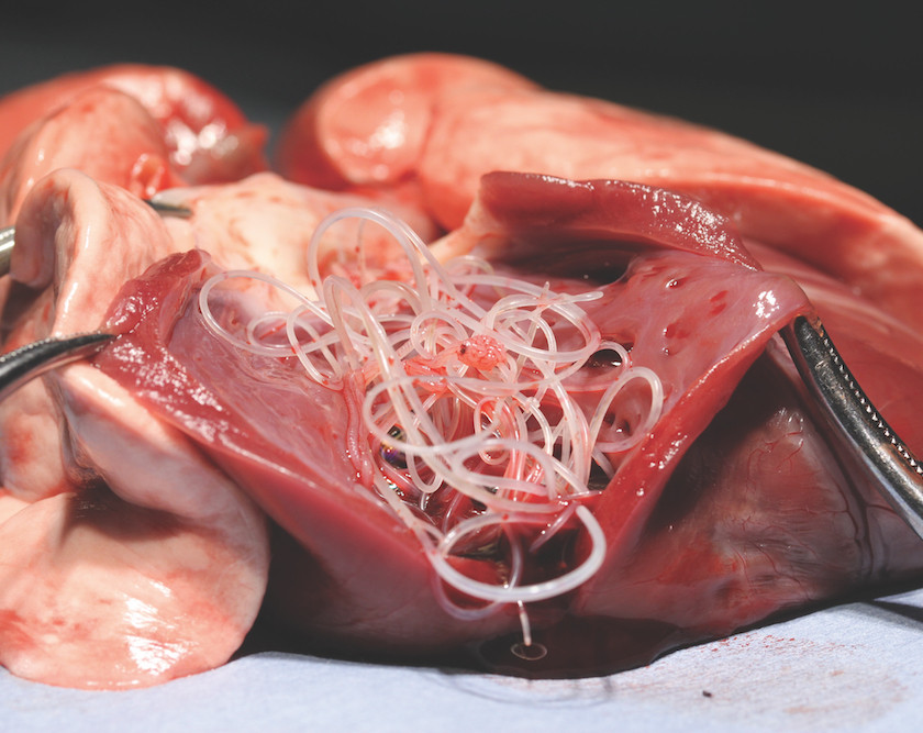 Adult heartworm in dog's heart