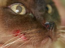 Feline Orofacial Pain Syndrome (Picture courtesy)