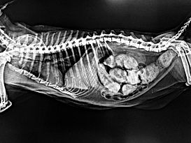 Xray image of abdominal distent cat show