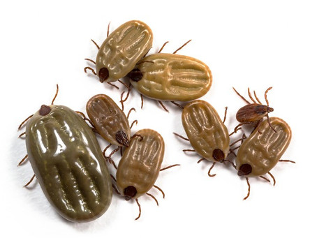 Ticks Infestation and Control in Dogs & Cats