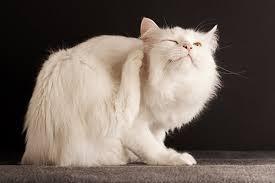 Feline Hyperesthesia Syndrome (Picture courtesy)