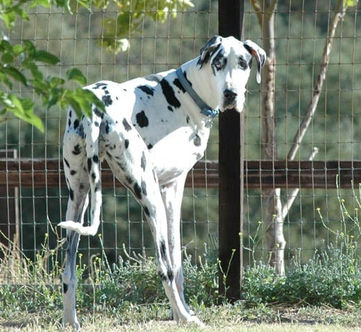 An amputee dog - Right foreleg (Picture courtesy)