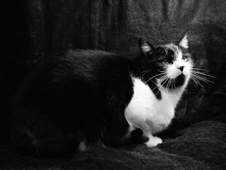 Feline Immunodeficiency Virus (FIV) - Feline AIDS