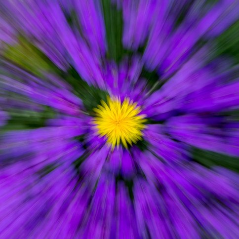 Dandelion in Aubretia