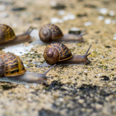 L'Escargot always the front runner_ the rest of the field left trailing