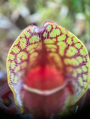 !pitcher plant close.JPEG