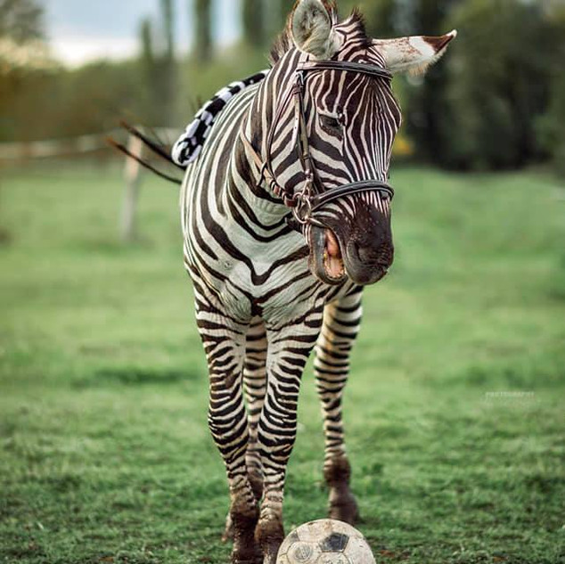 Focizó zebra a tanyán