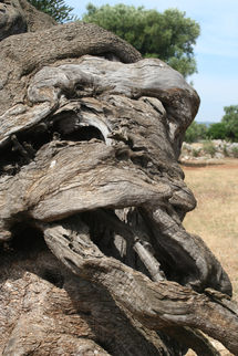 3000 éves olíva törzs