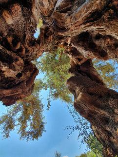 Olíva Ostuni környékén