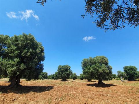 Olívák Ostuni és Ceglie Messapica között