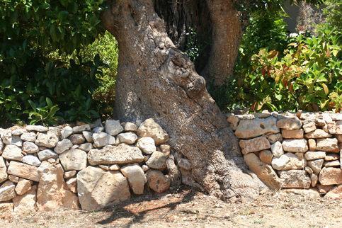 Olíva és kerítés