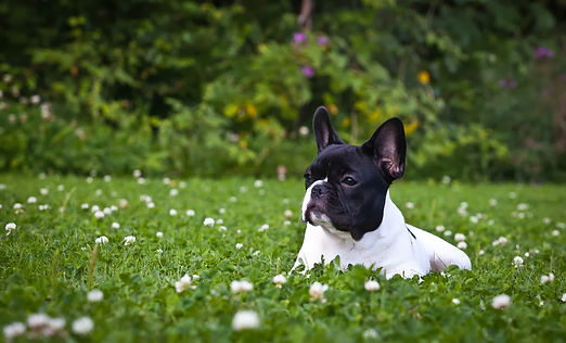 French Bulldog HD Wallpapers 3.jpg