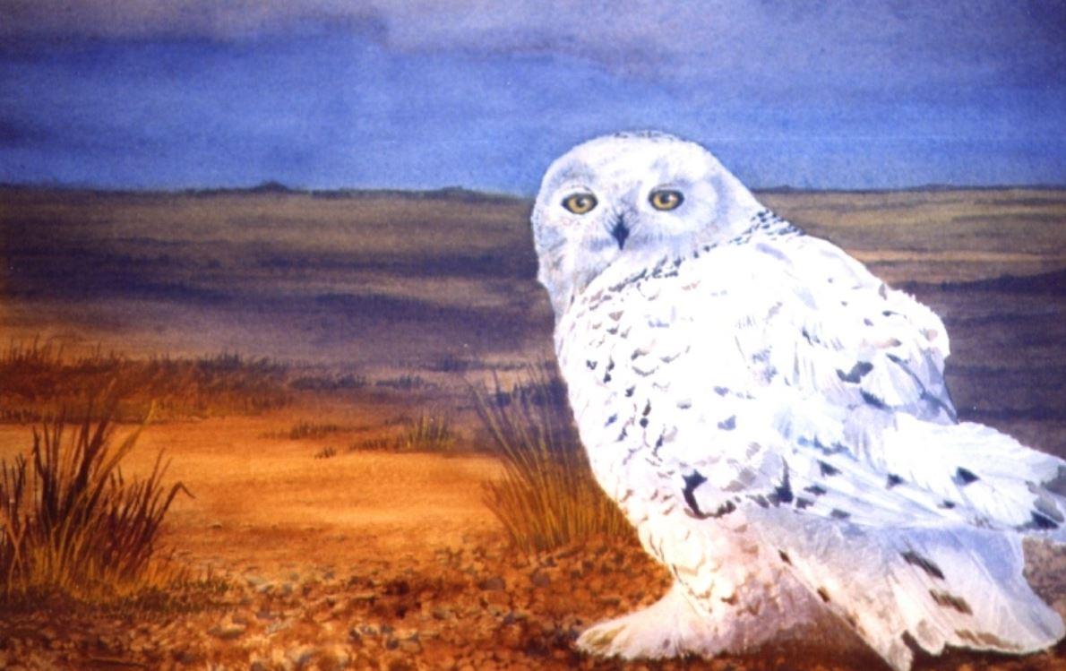 Snowy Owl by Jacqui Franks