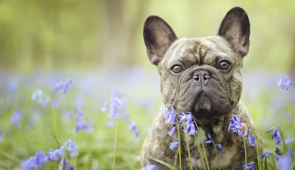 french-bulldog-face-2K-wallpaper-middle-
