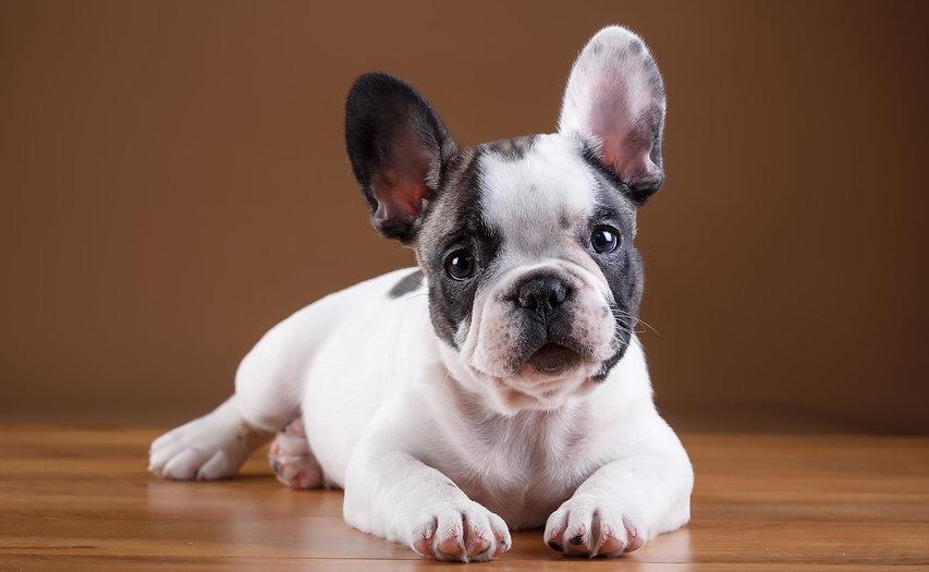 Best-images-of-French-Bulldog-.jpg