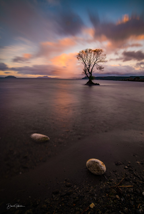 Sunset Taupo Tree in the lake